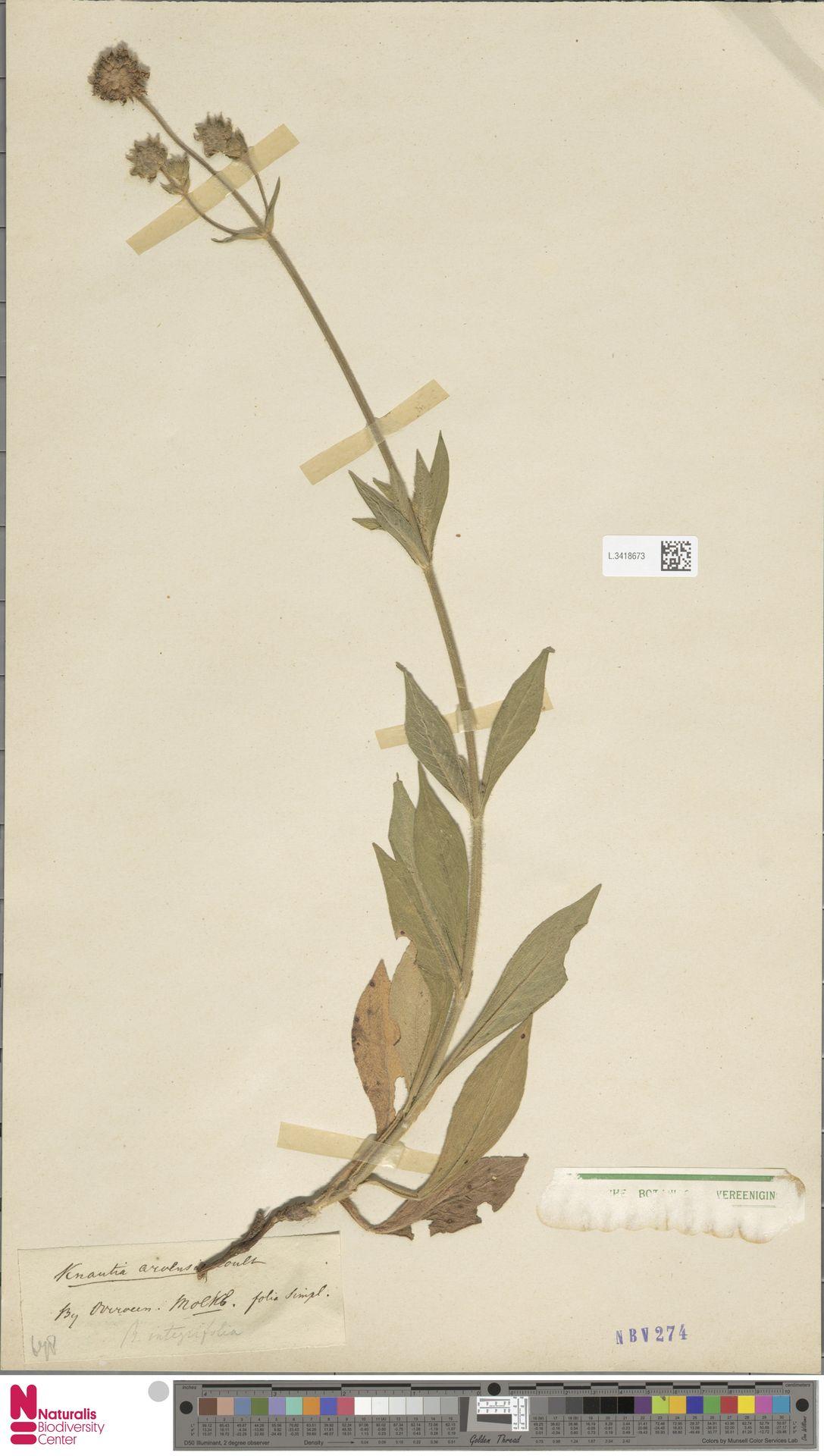 L.3418673 | Knautia arvensis (L.) Coult.