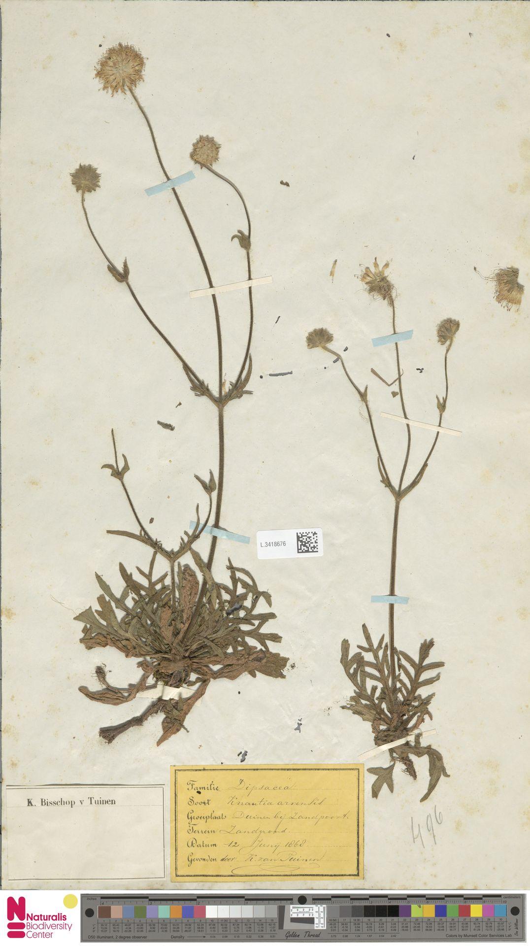 L.3418676 | Knautia arvensis (L.) Coult.