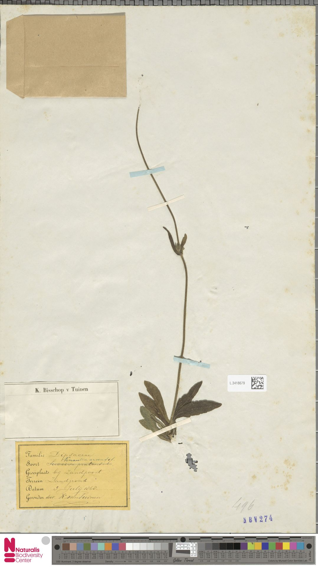 L.3418679 | Knautia arvensis (L.) Coult.