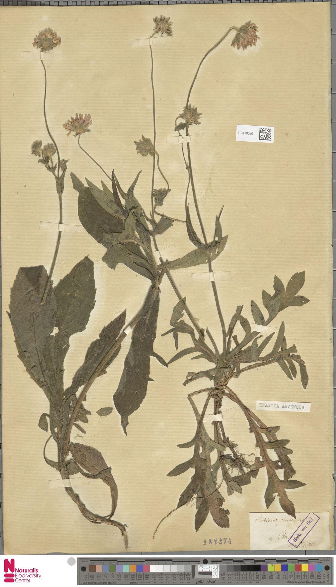 L.3418680 | Knautia arvensis (L.) Coult.