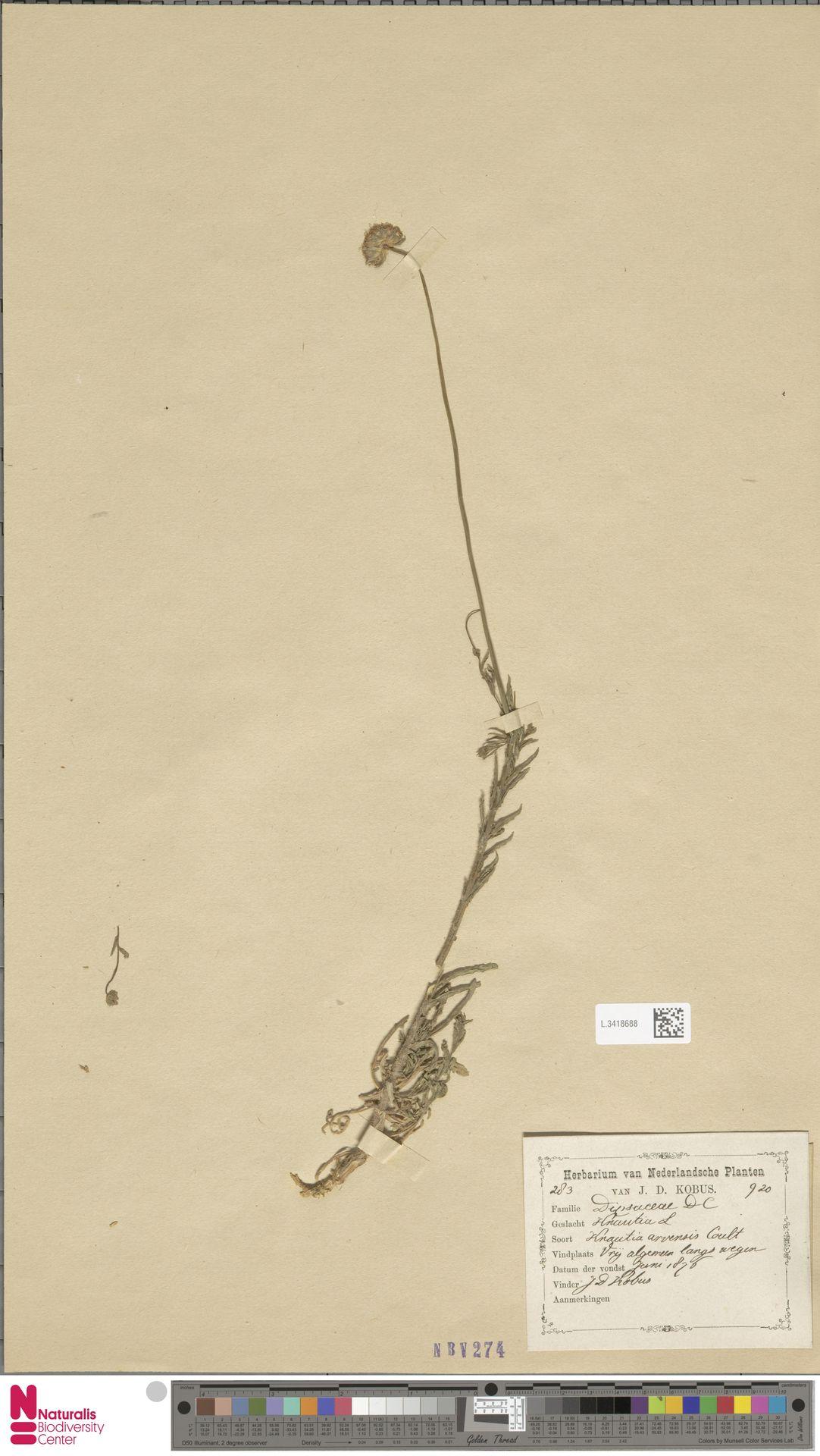L.3418688 | Knautia arvensis (L.) Coult.