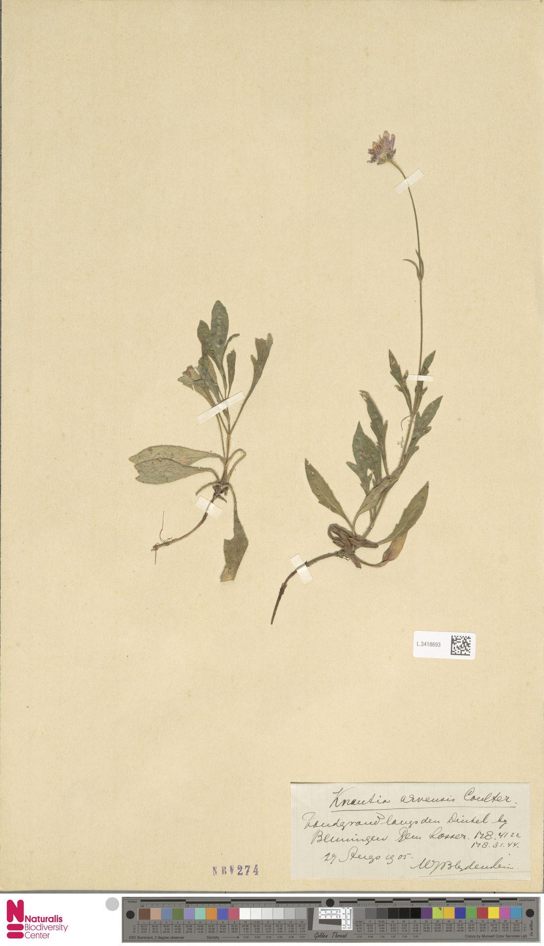 L.3418693 | Knautia arvensis (L.) Coult.