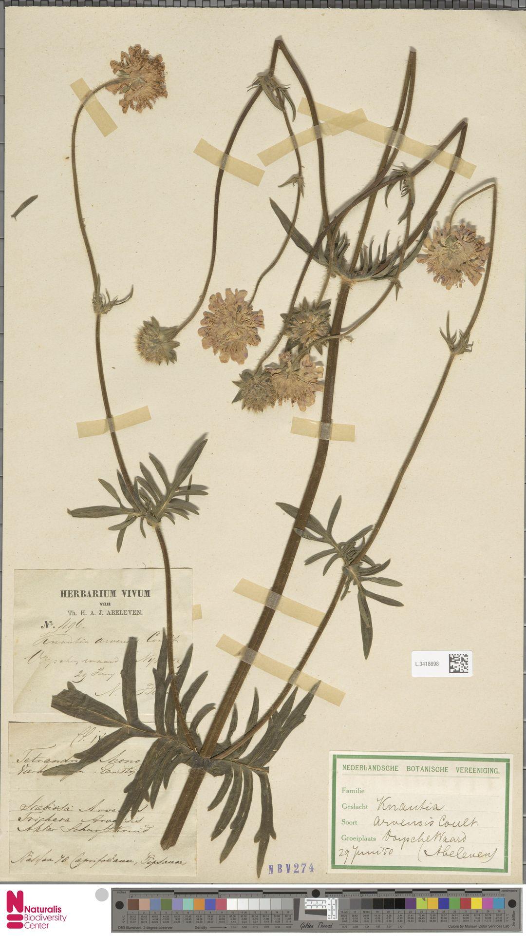L.3418698 | Knautia arvensis (L.) Coult.