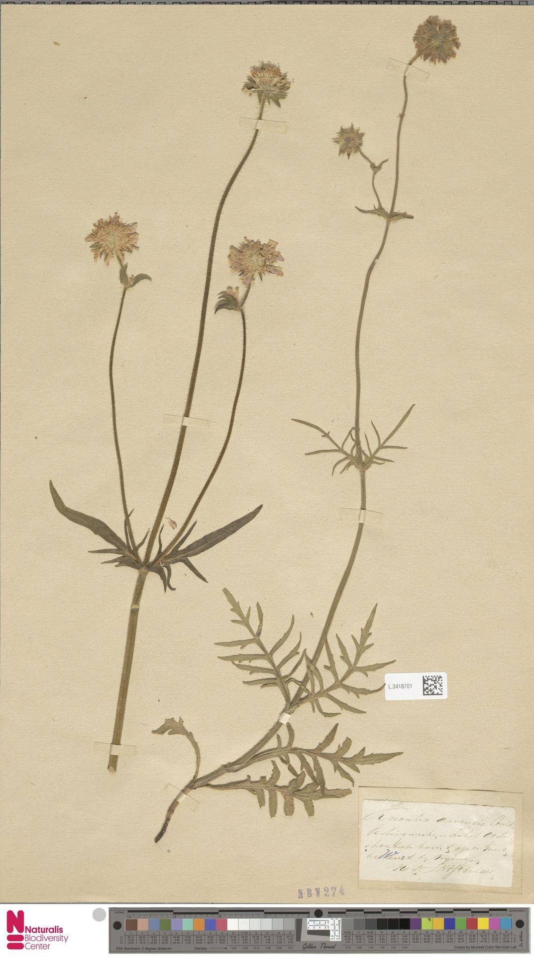 L.3418701   Knautia arvensis (L.) Coult.