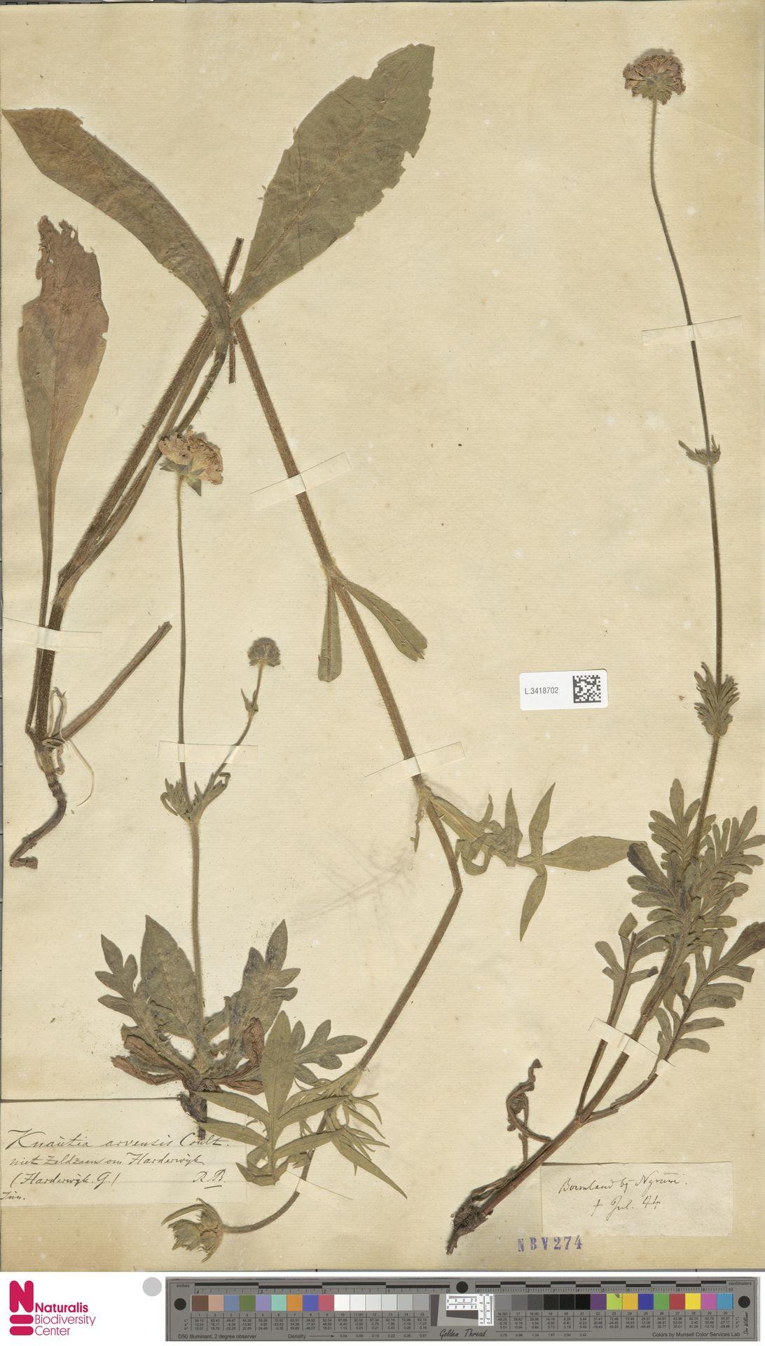 L.3418702 | Knautia arvensis (L.) Coult.