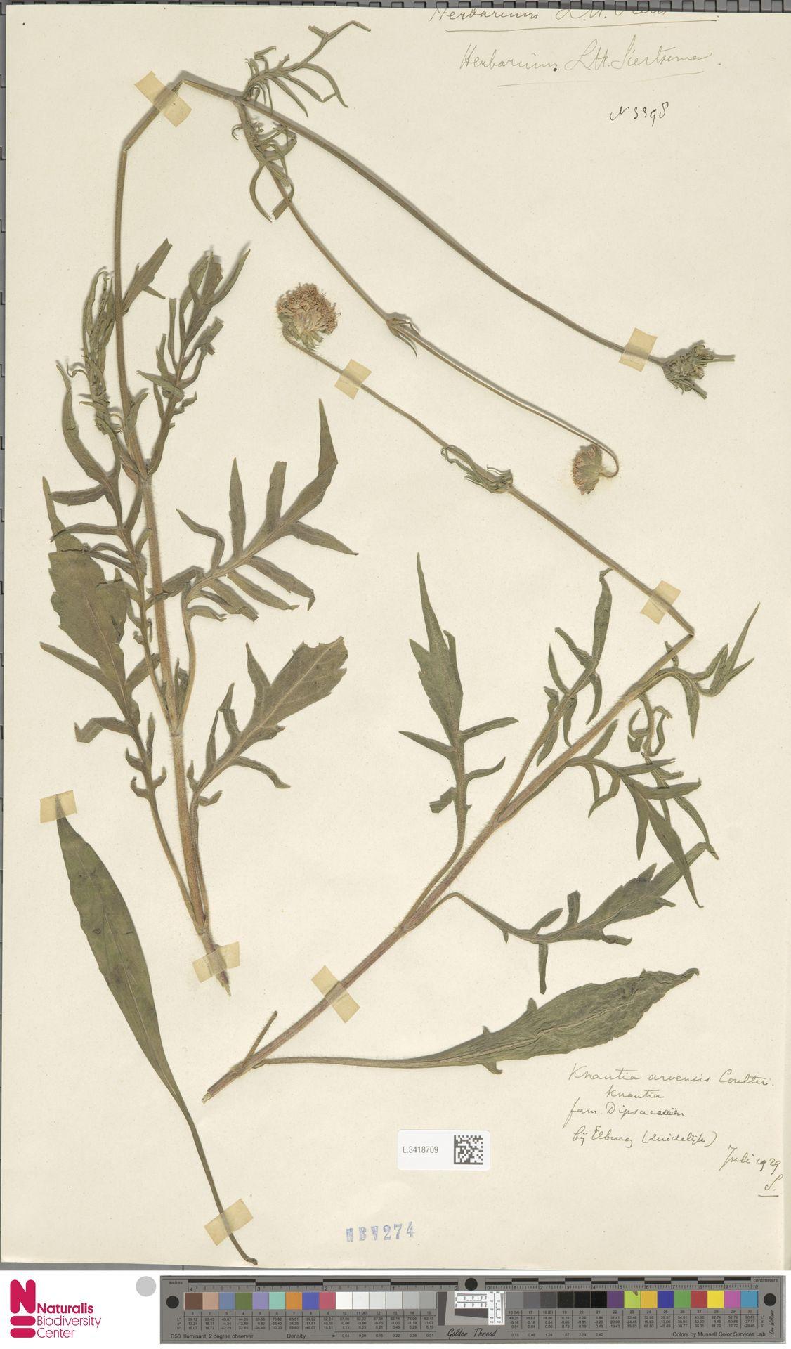 L.3418709 | Knautia arvensis (L.) Coult.