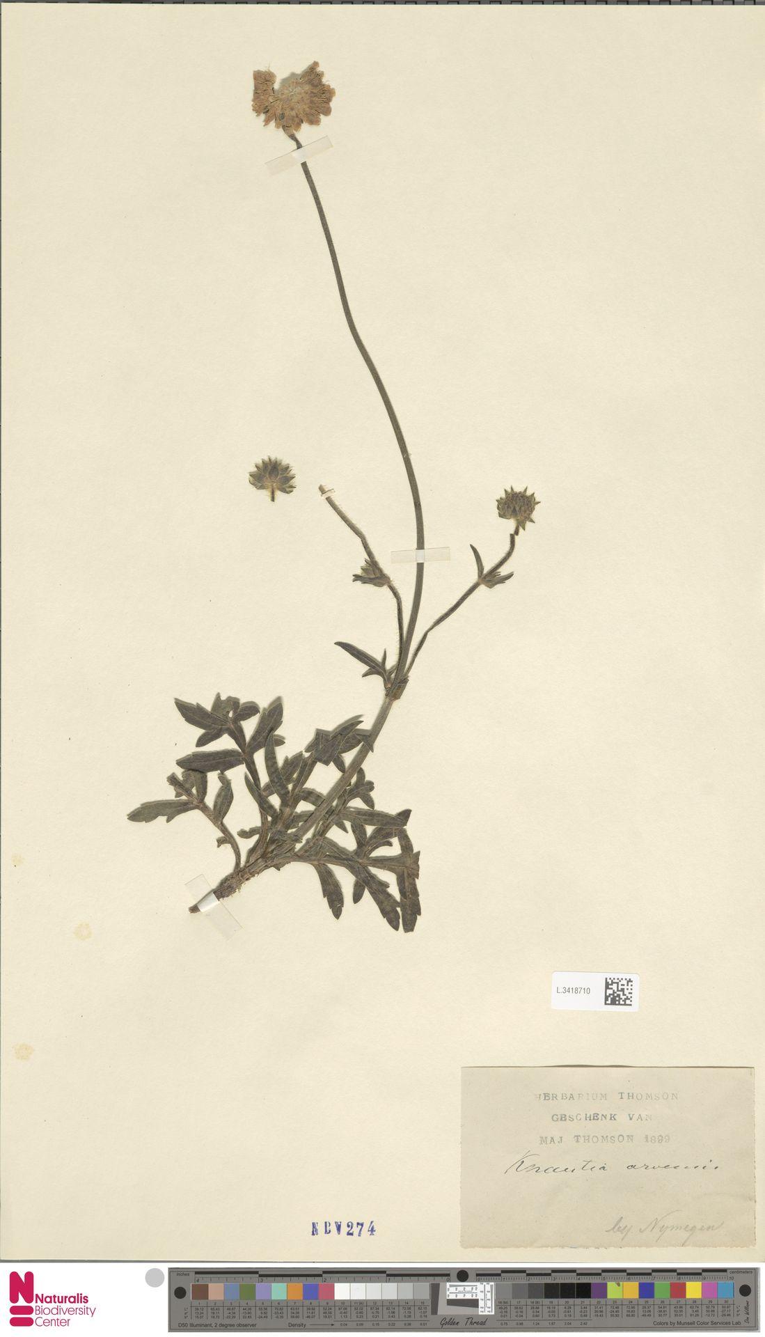 L.3418710 | Knautia arvensis (L.) Coult.