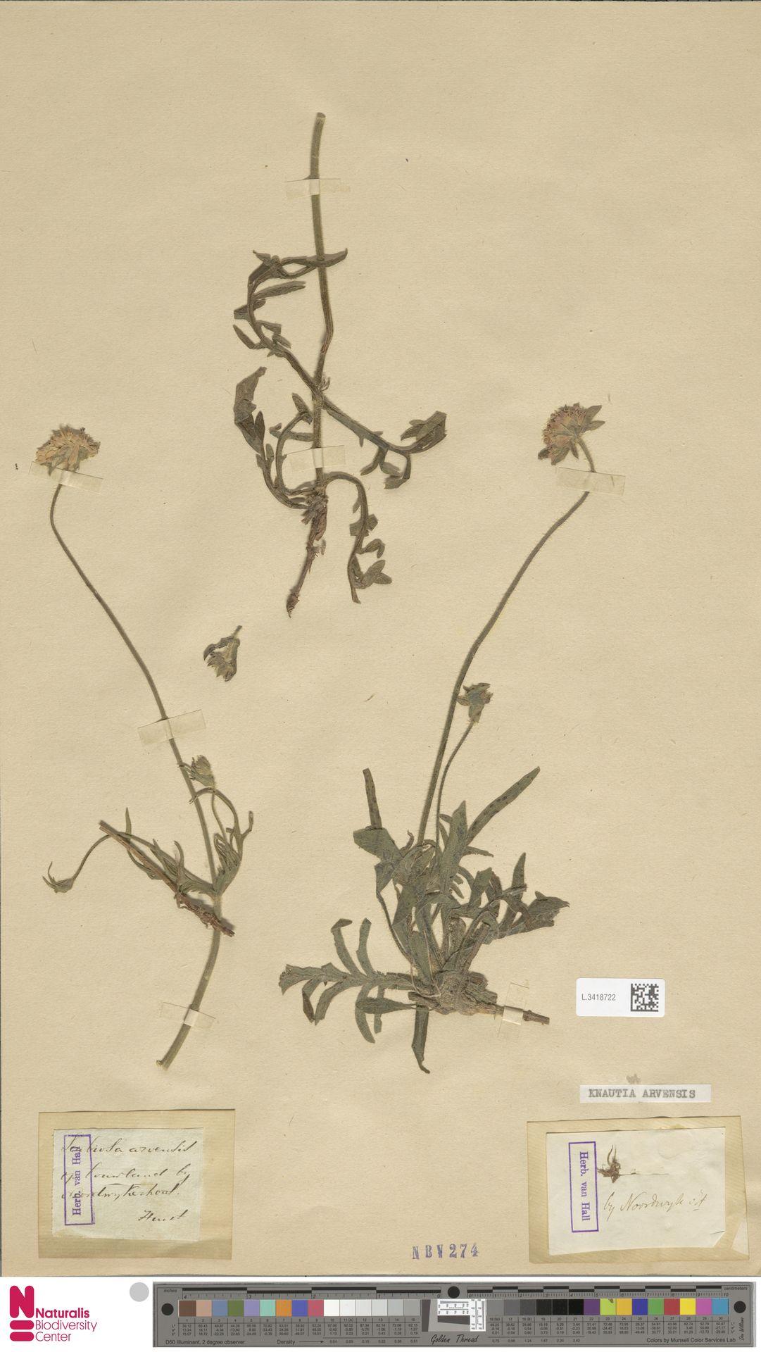 L.3418722 | Knautia arvensis (L.) Coult.