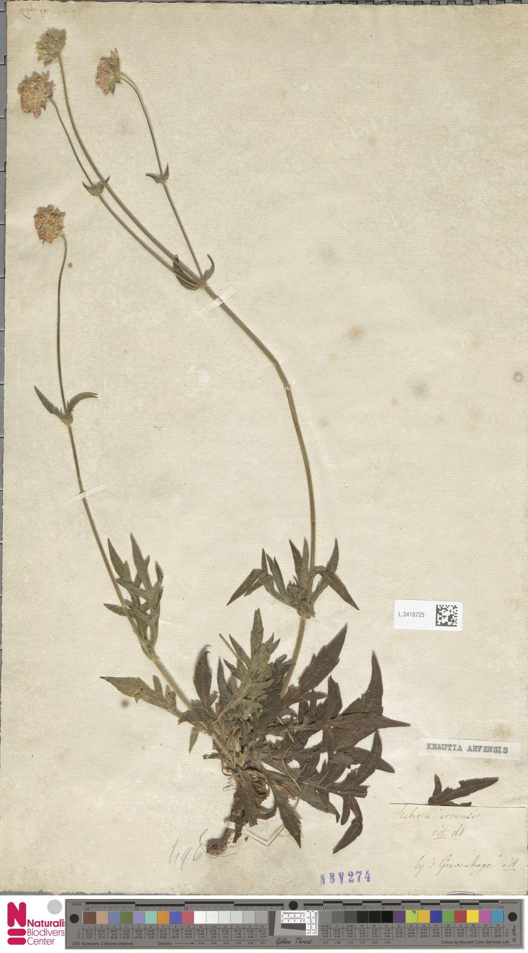 L.3418725 | Knautia arvensis (L.) Coult.