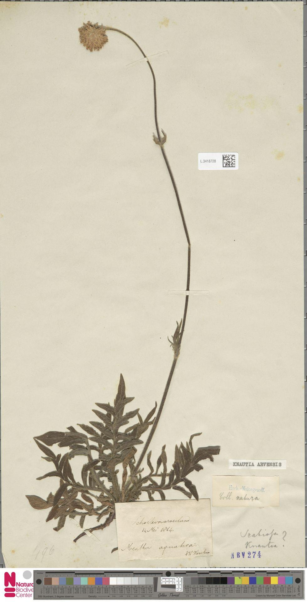 L.3418728 | Knautia arvensis (L.) Coult.