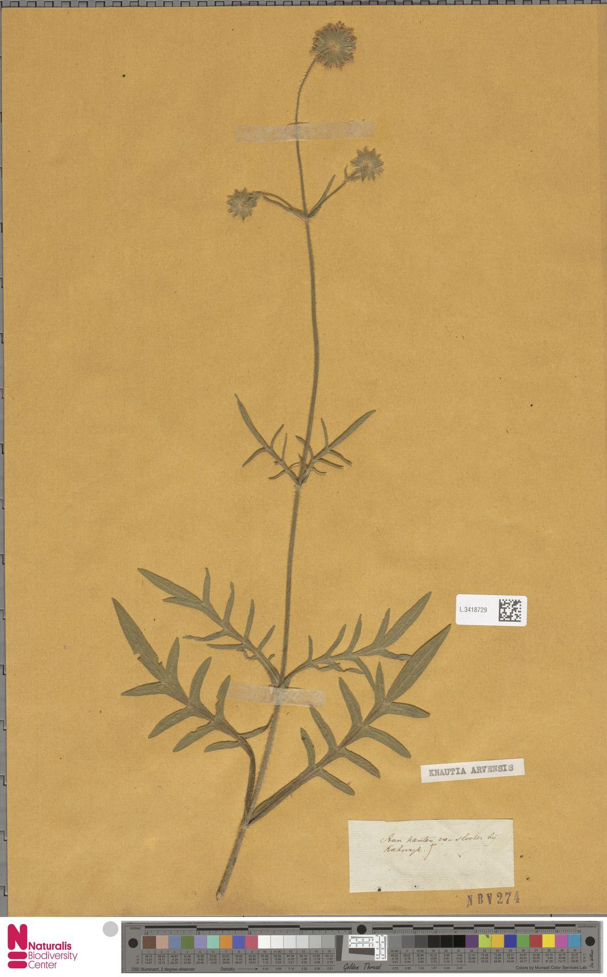 L.3418729 | Knautia arvensis (L.) Coult.