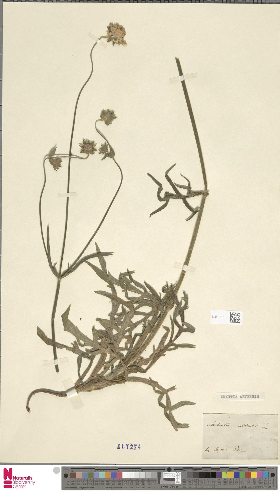 L.3418731 | Knautia arvensis (L.) Coult.