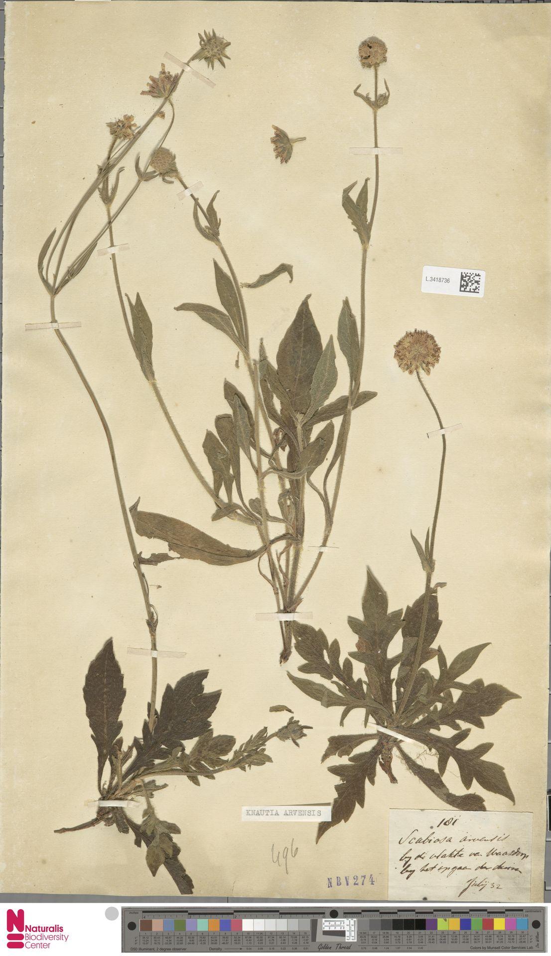 L.3418736 | Knautia arvensis (L.) Coult.