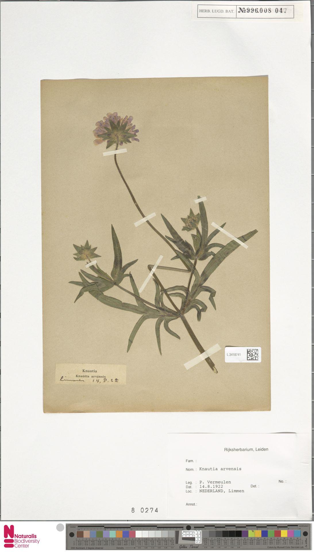 L.3418741 | Knautia arvensis (L.) Coult.