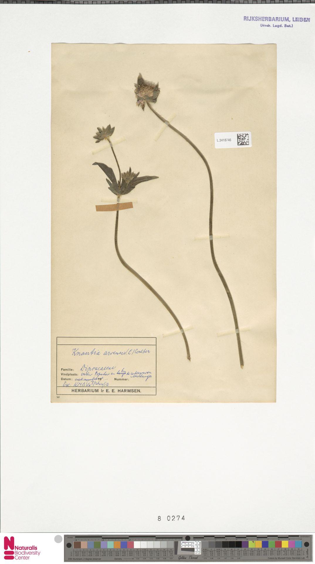 L.3418746 | Knautia arvensis (L.) Coult.