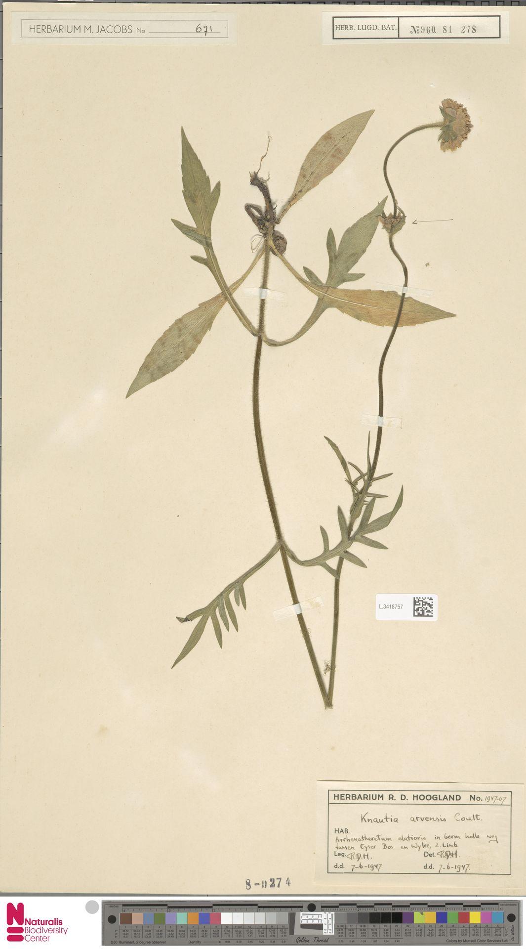 L.3418757 | Knautia arvensis (L.) Coult.