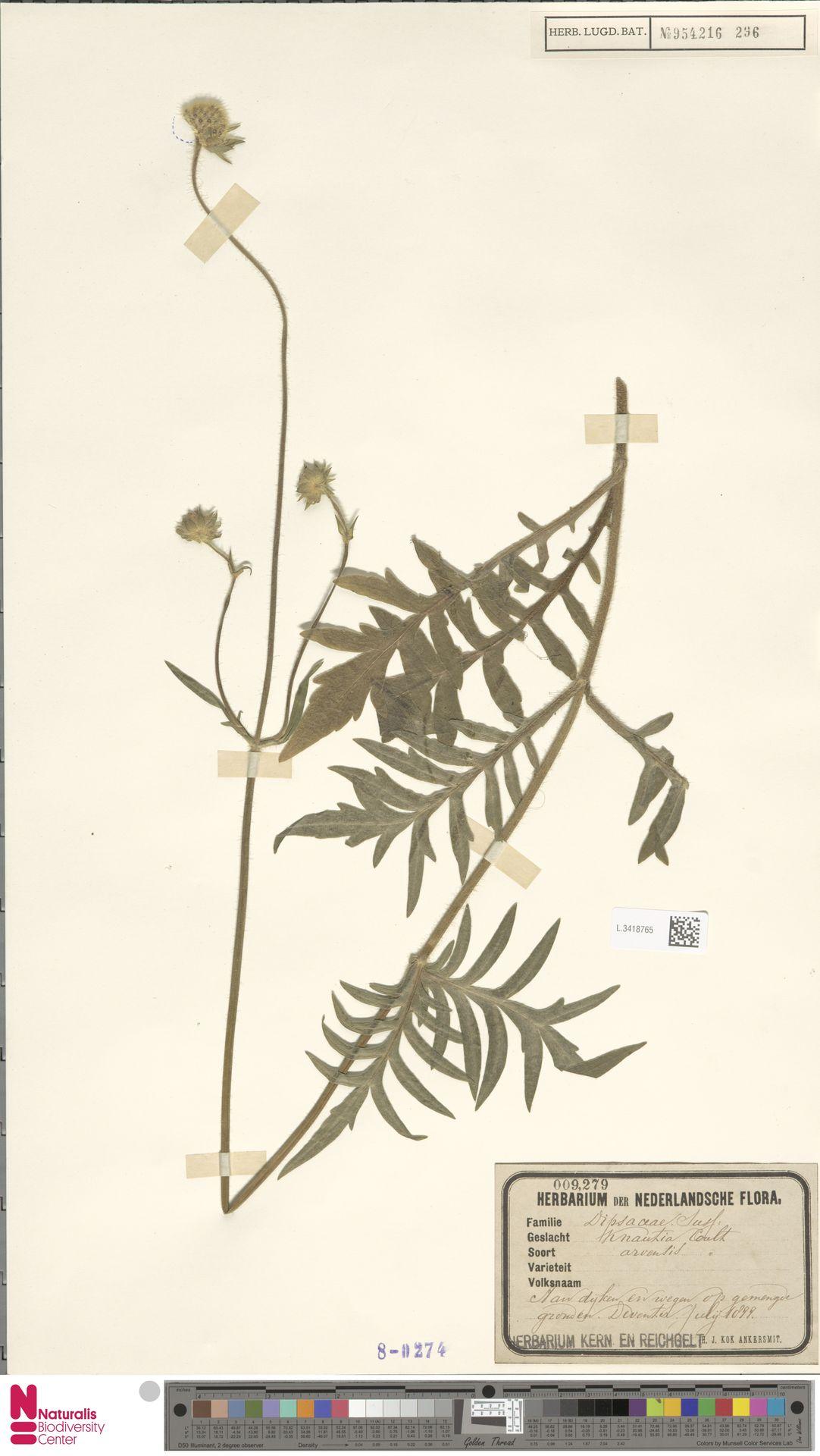 L.3418765 | Knautia arvensis (L.) Coult.