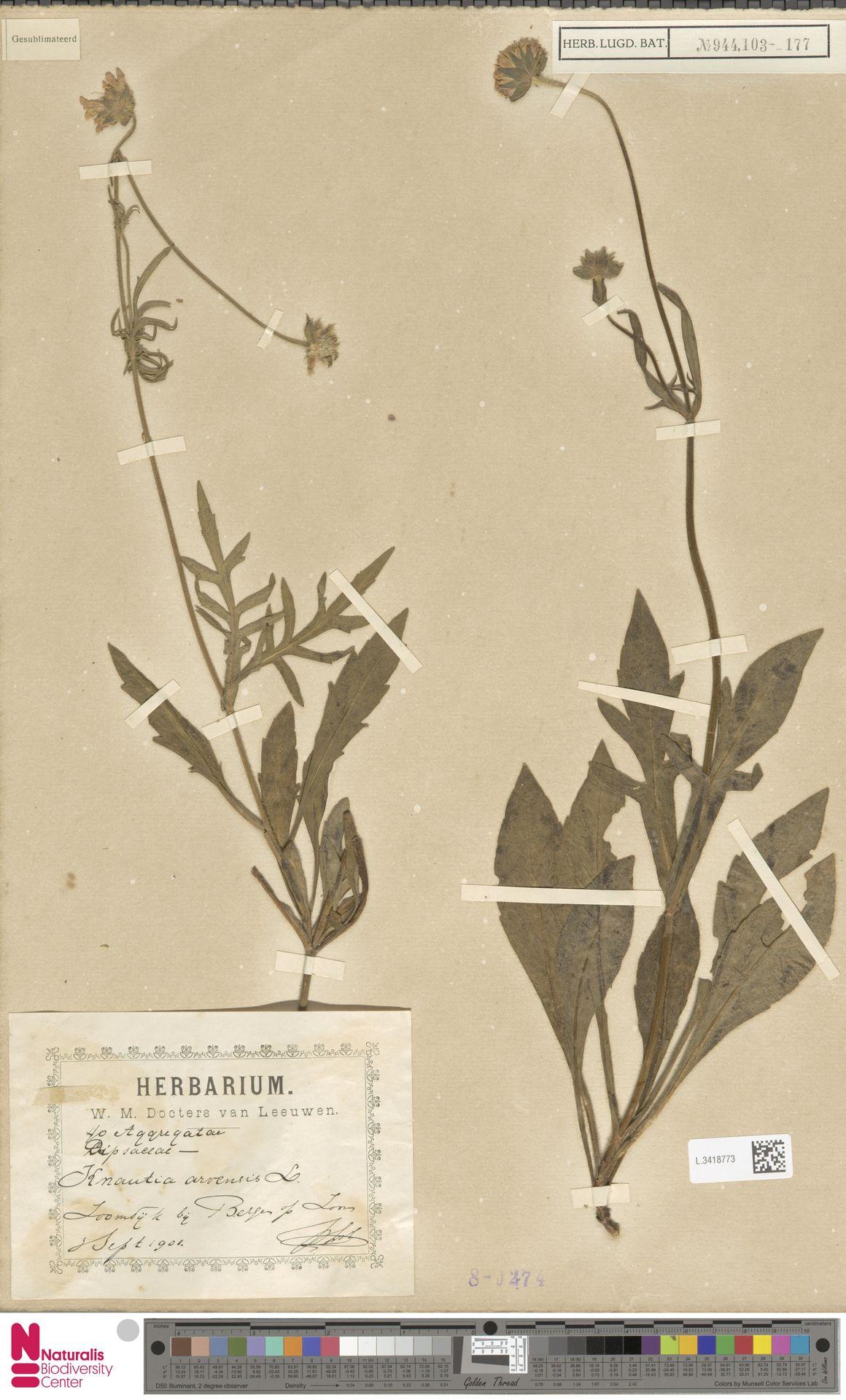 L.3418773 | Knautia arvensis (L.) Coult.