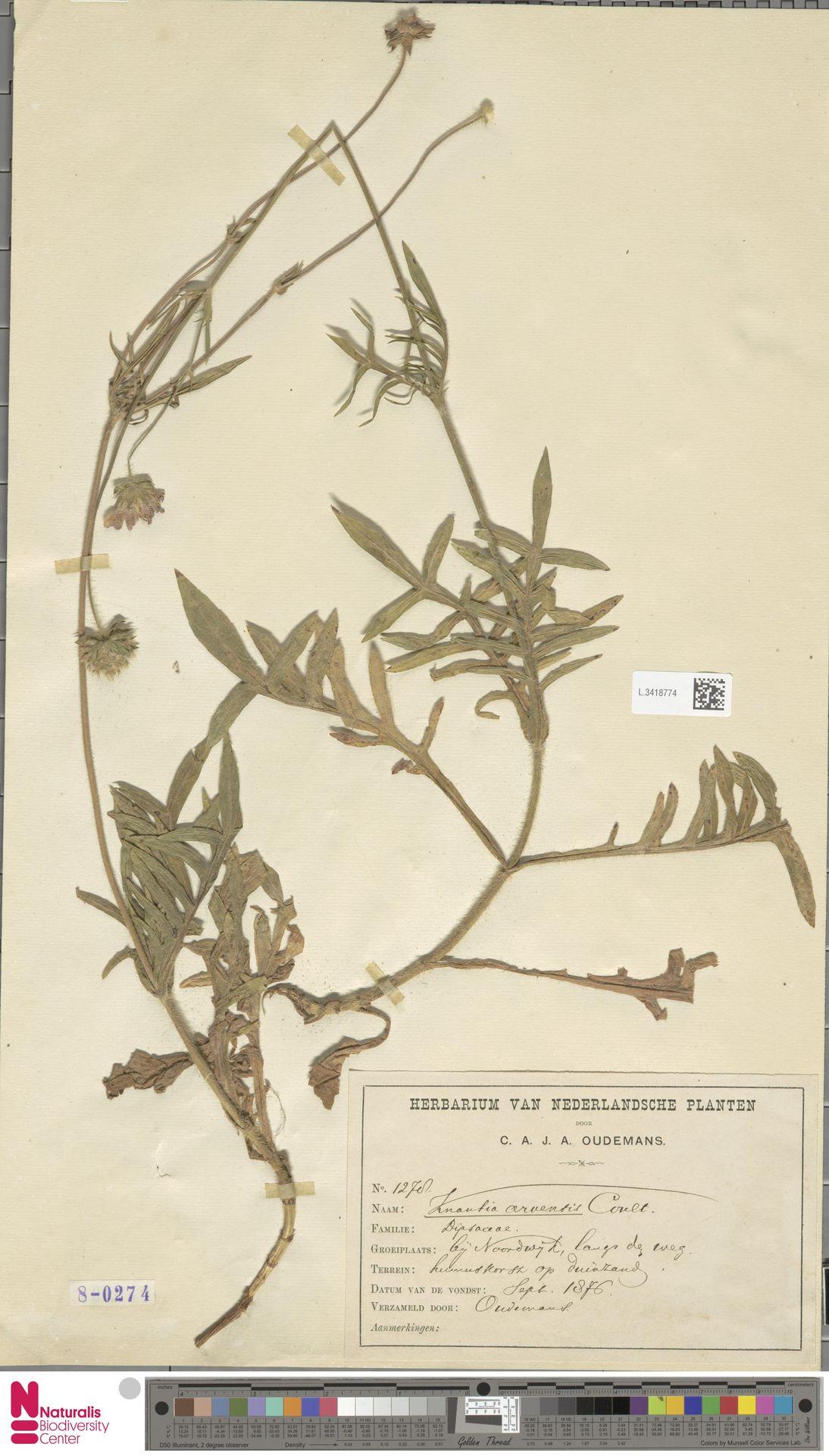 L.3418774 | Knautia arvensis (L.) Coult.