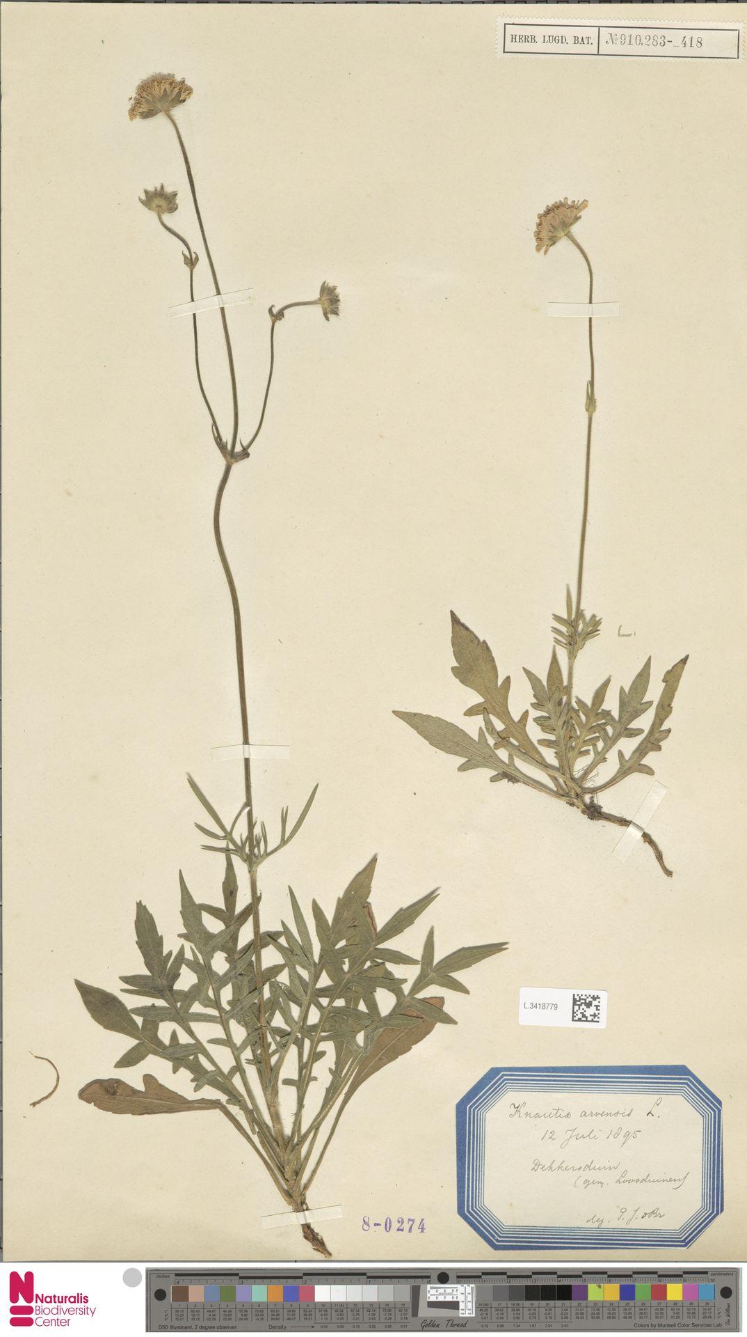 L.3418779 | Knautia arvensis (L.) Coult.