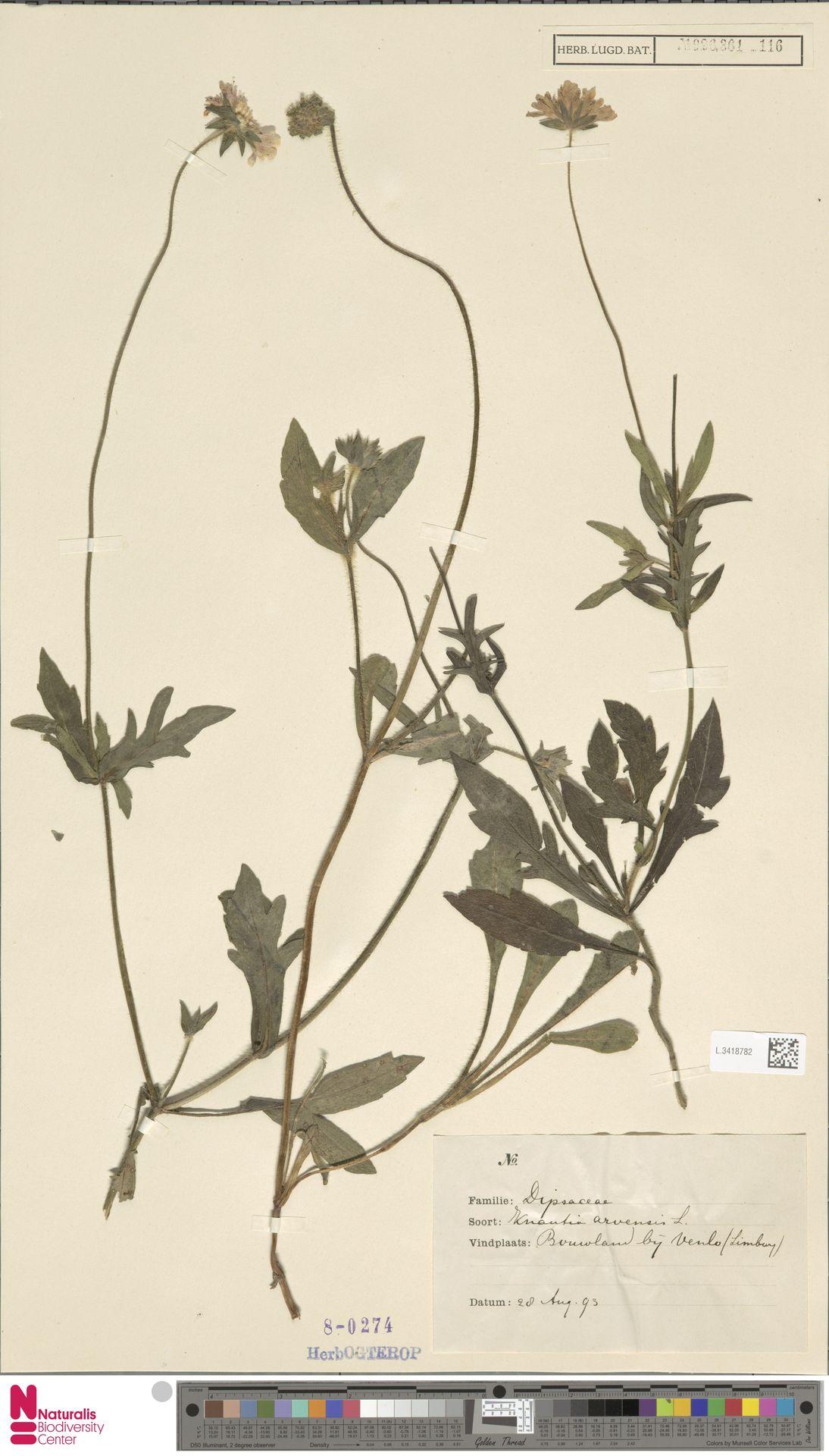 L.3418782 | Knautia arvensis (L.) Coult.