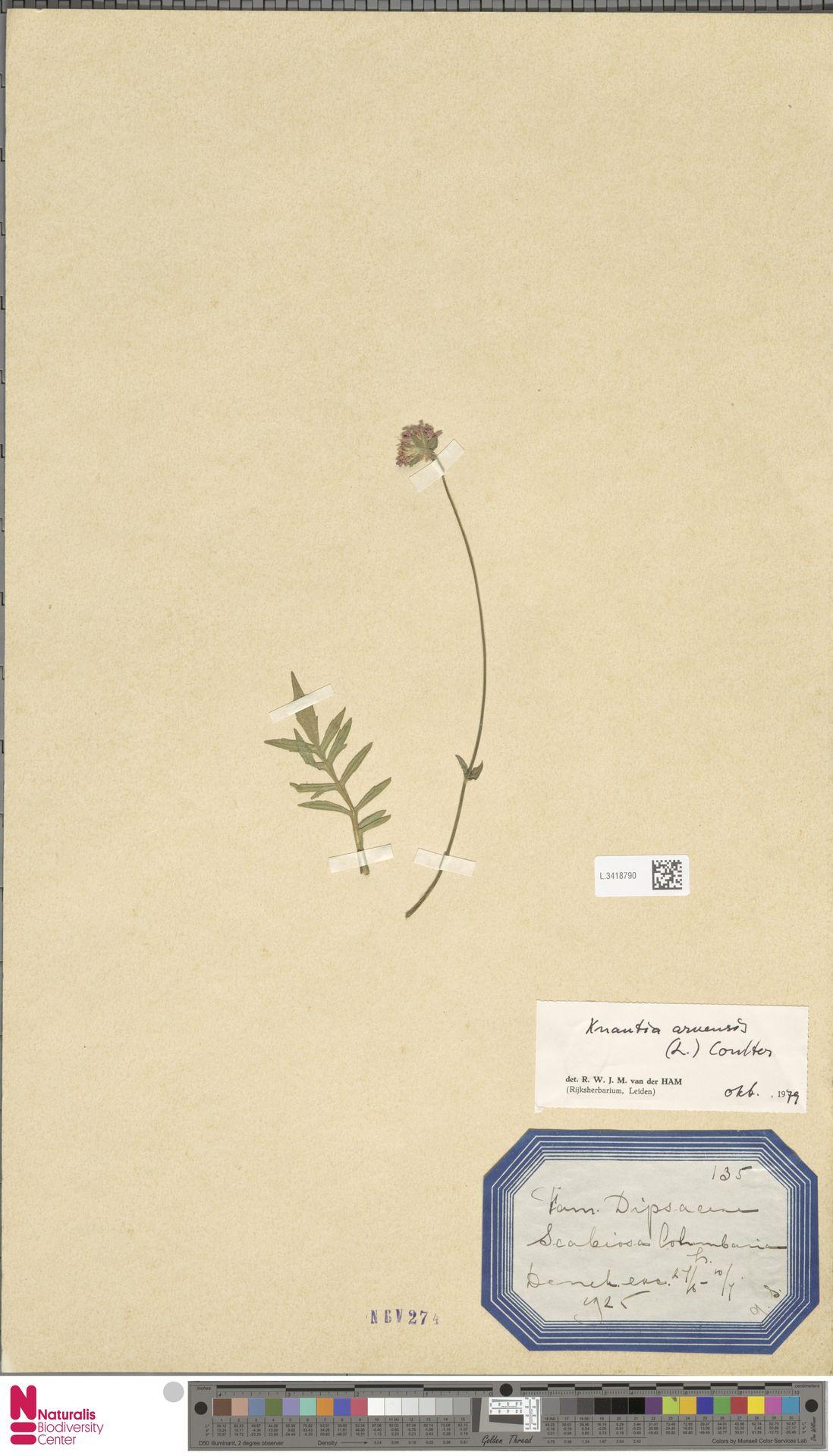 L.3418790 | Knautia arvensis (L.) Coult.