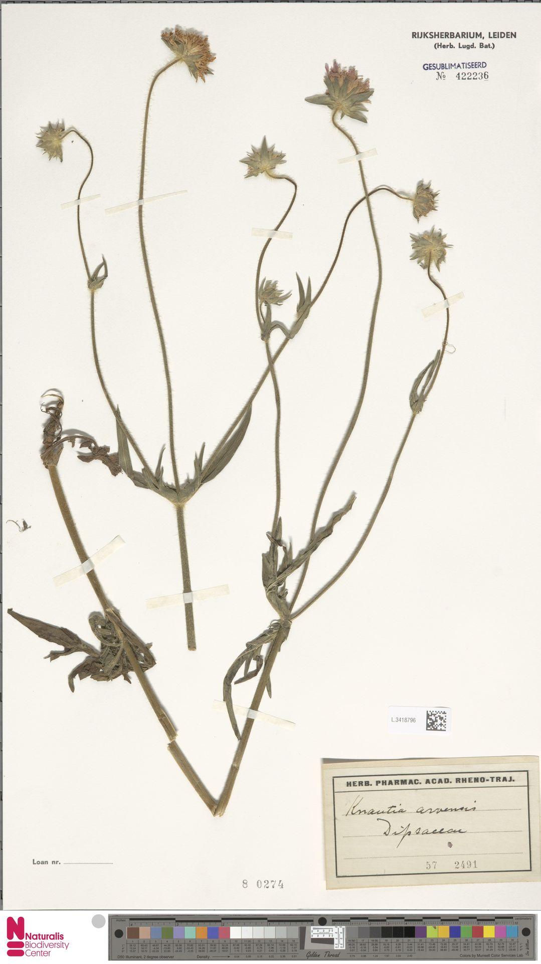 L.3418796 | Knautia arvensis (L.) Coult.