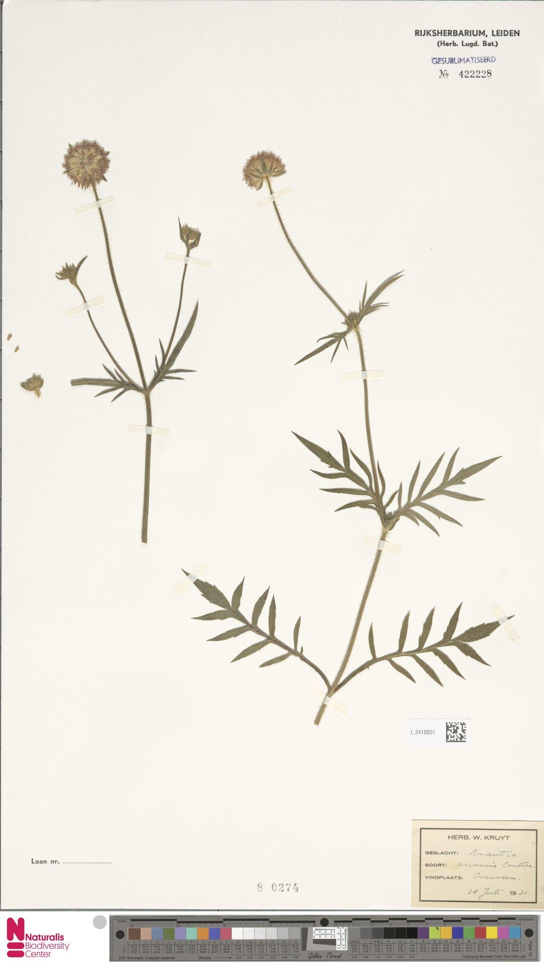 L.3418801 | Knautia arvensis (L.) Coult.