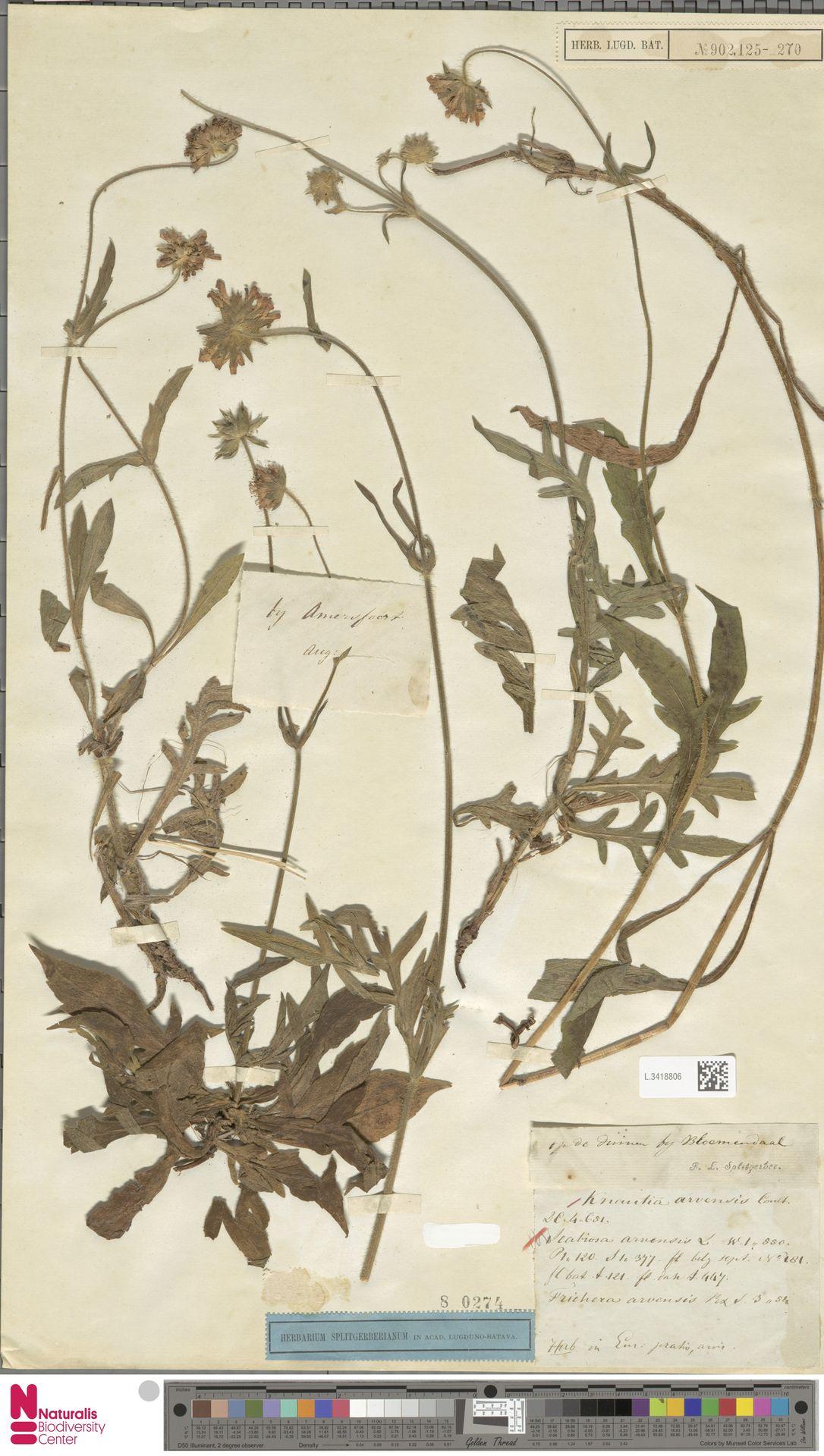 L.3418806 | Knautia arvensis (L.) Coult.
