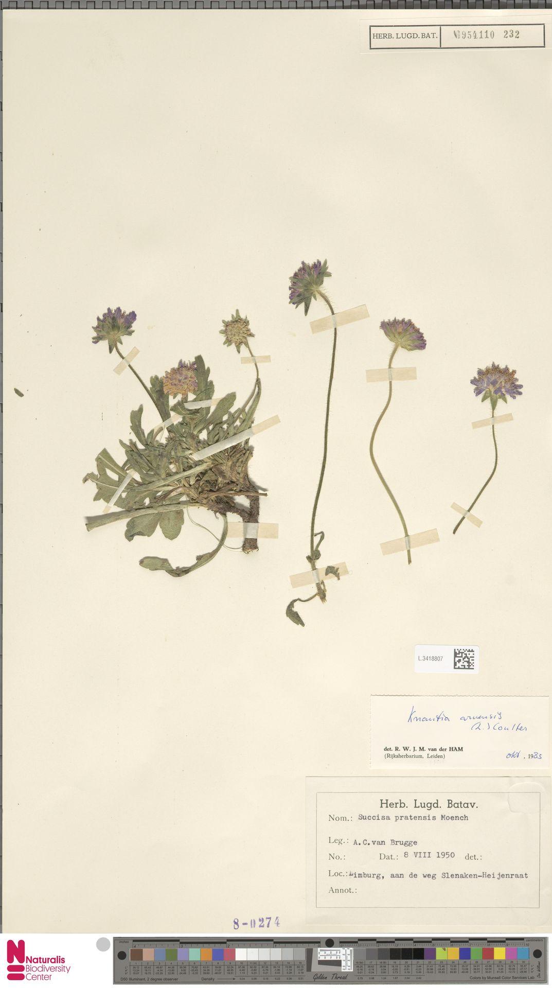 L.3418807 | Knautia arvensis (L.) Coult.