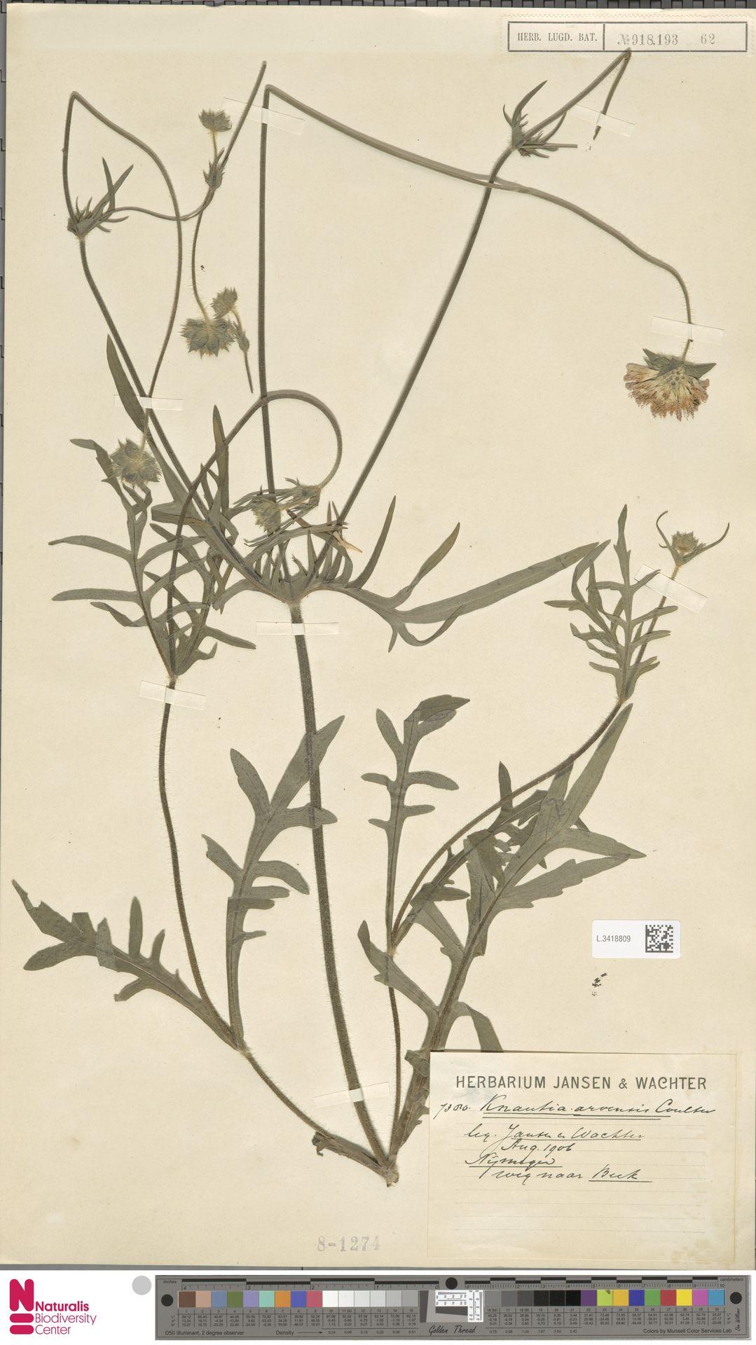 L.3418809 | Knautia arvensis (L.) Coult.