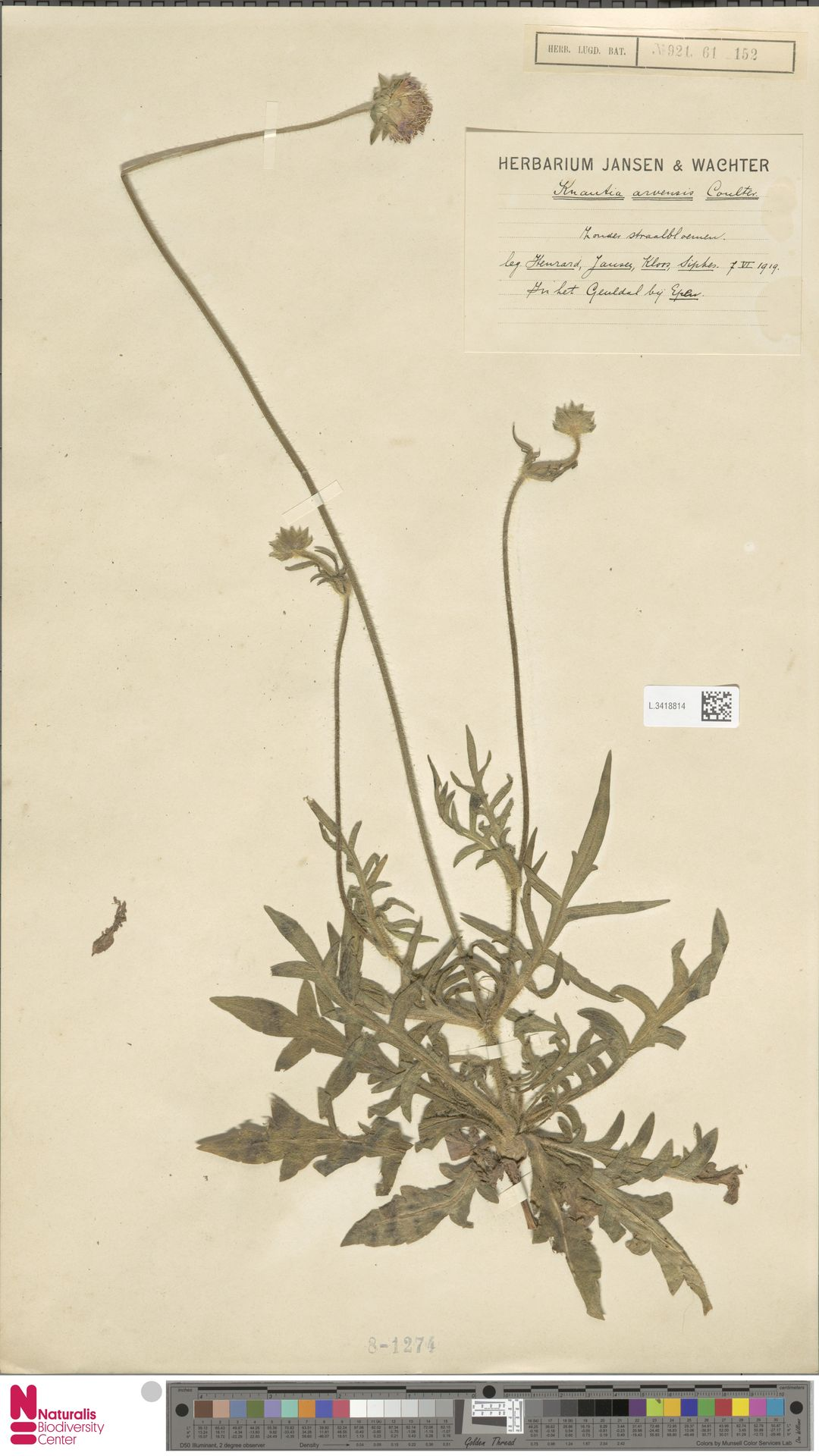 L.3418814 | Knautia arvensis (L.) Coult.