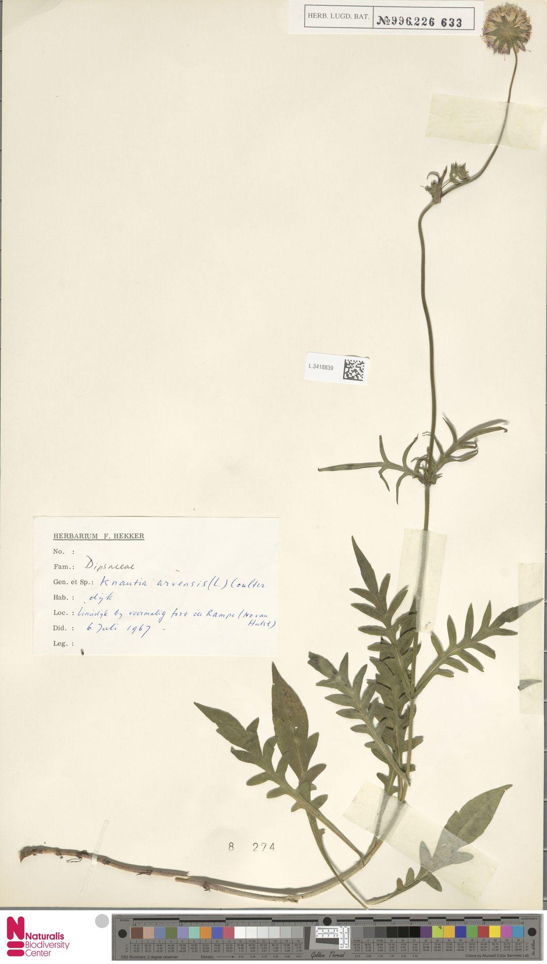 L.3418839 | Knautia arvensis (L.) Coult.
