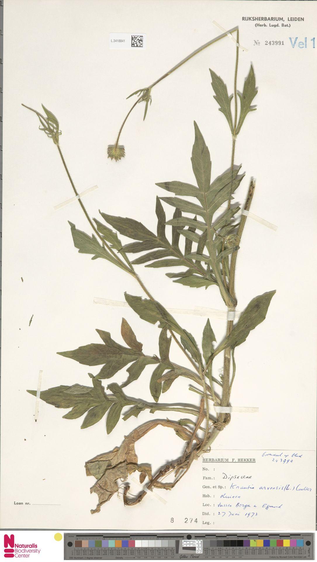 L.3418841 | Knautia arvensis (L.) Coult.