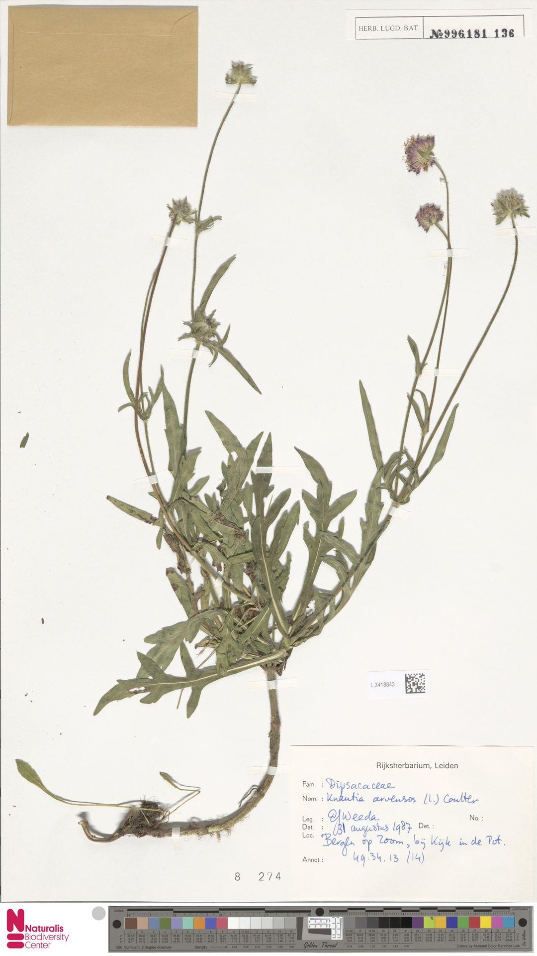 L.3418843 | Knautia arvensis (L.) Coult.
