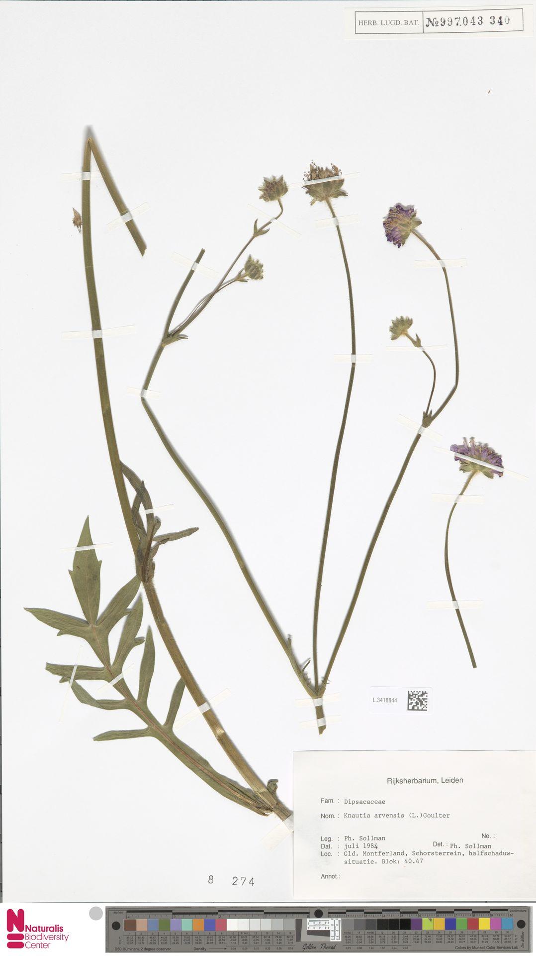L.3418844   Knautia arvensis (L.) Coult.