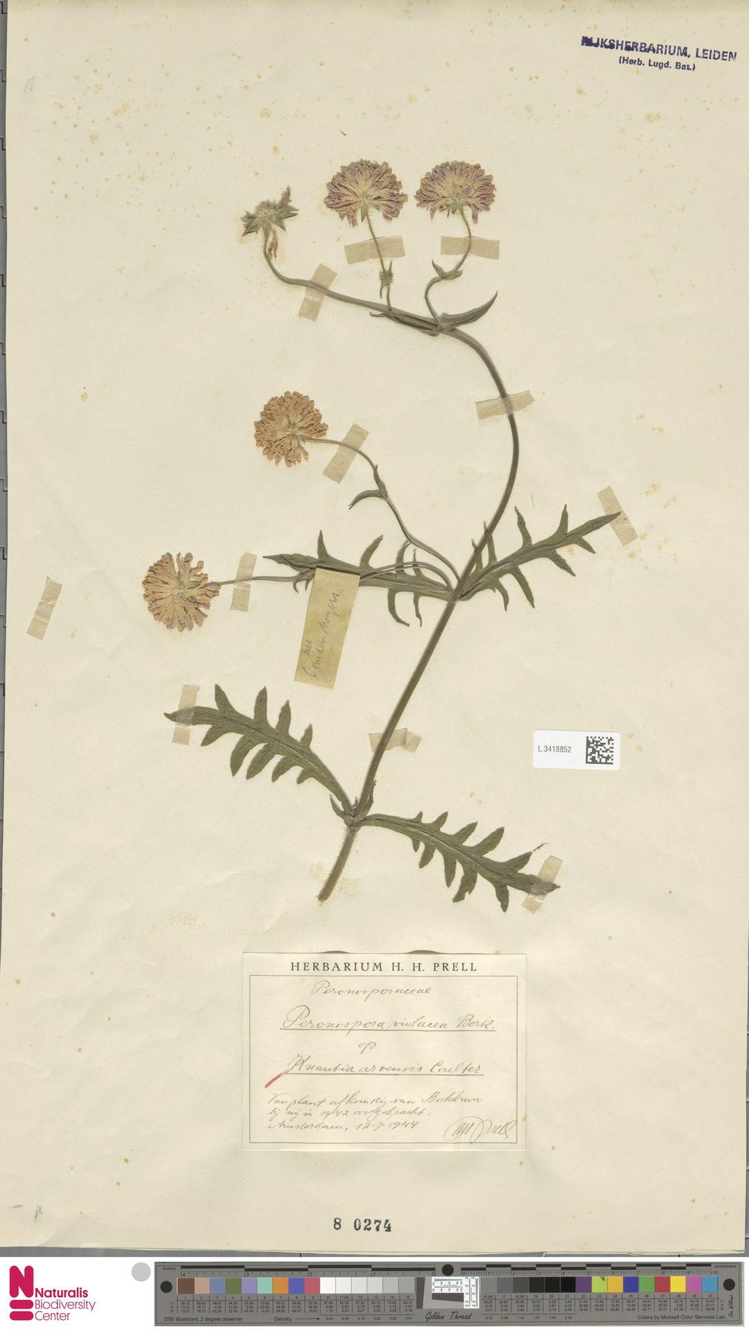 L.3418852   Knautia arvensis (L.) Coult.