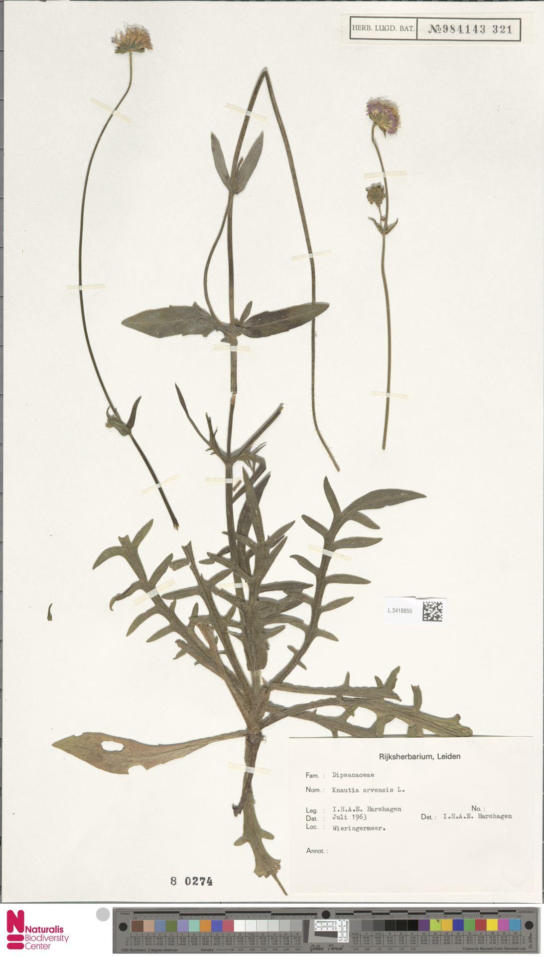 L.3418855 | Knautia arvensis (L.) Coult.