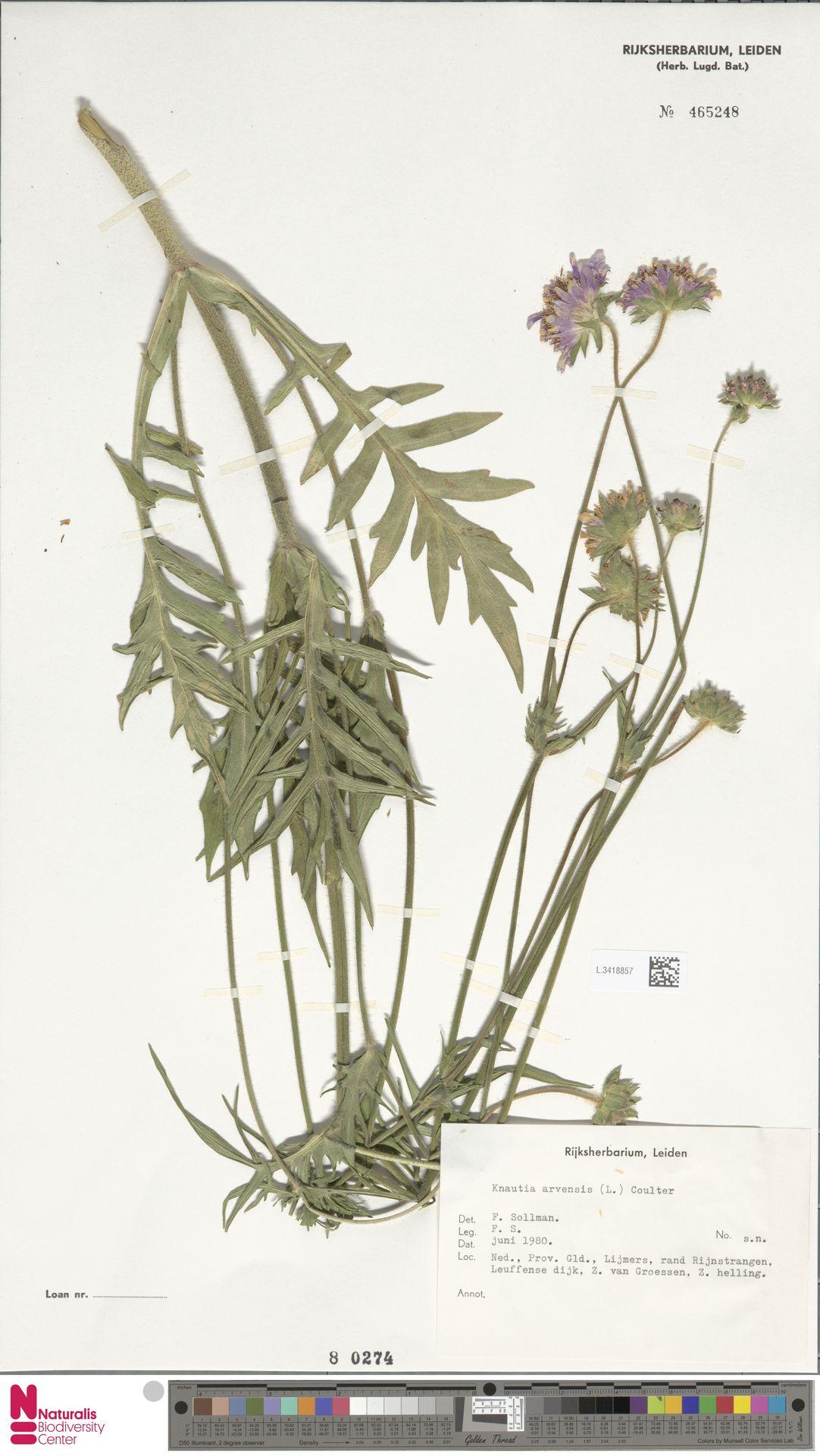 L.3418857 | Knautia arvensis (L.) Coult.