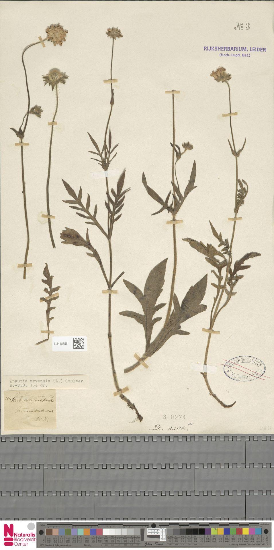 L.3418858 | Knautia arvensis (L.) Coult.