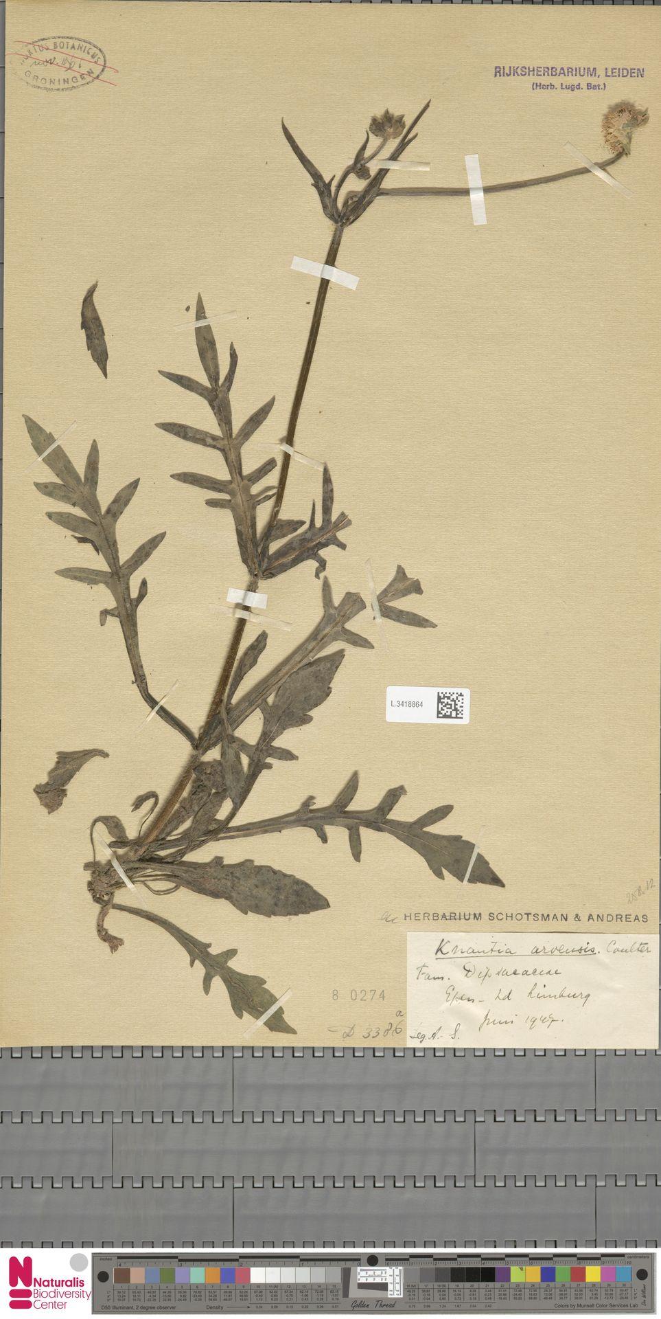 L.3418864 | Knautia arvensis (L.) Coult.