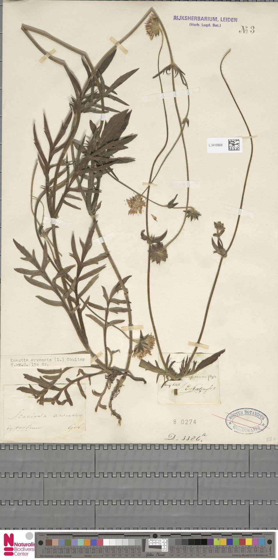 L.3418868 | Knautia arvensis (L.) Coult.