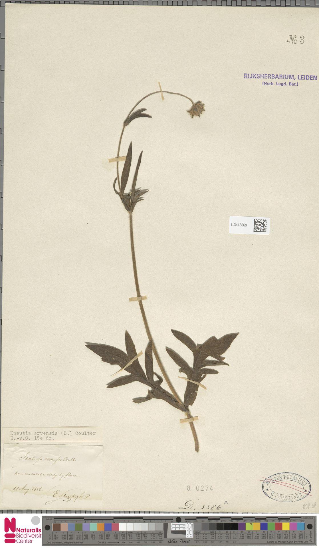 L.3418869 | Knautia arvensis (L.) Coult.