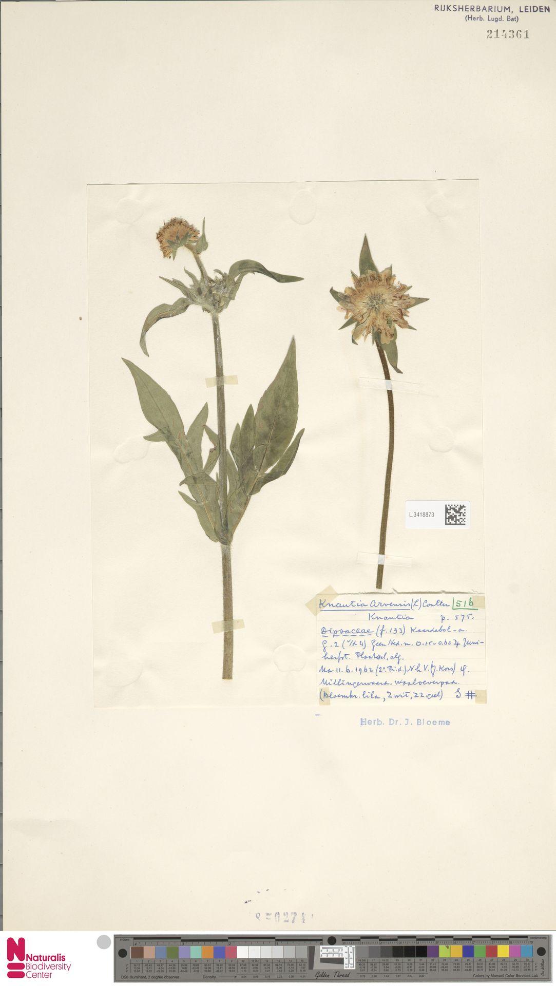 L.3418873 | Knautia arvensis (L.) Coult.