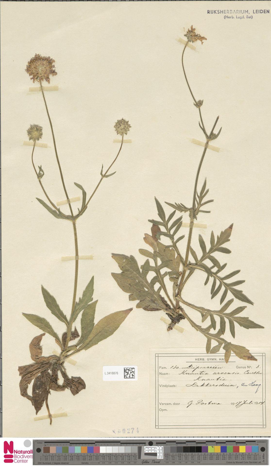 L.3418876 | Knautia arvensis (L.) Coult.