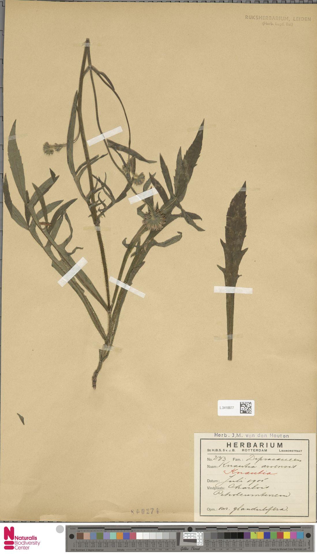 L.3418877 | Knautia arvensis (L.) Coult.