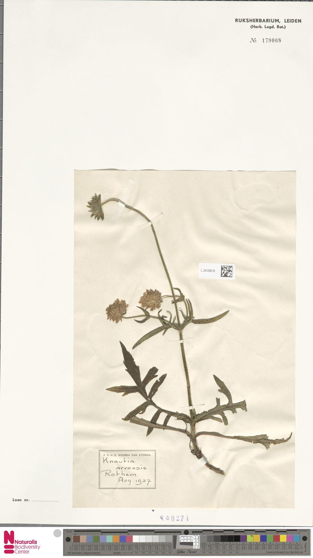 L.3418878 | Knautia arvensis (L.) Coult.