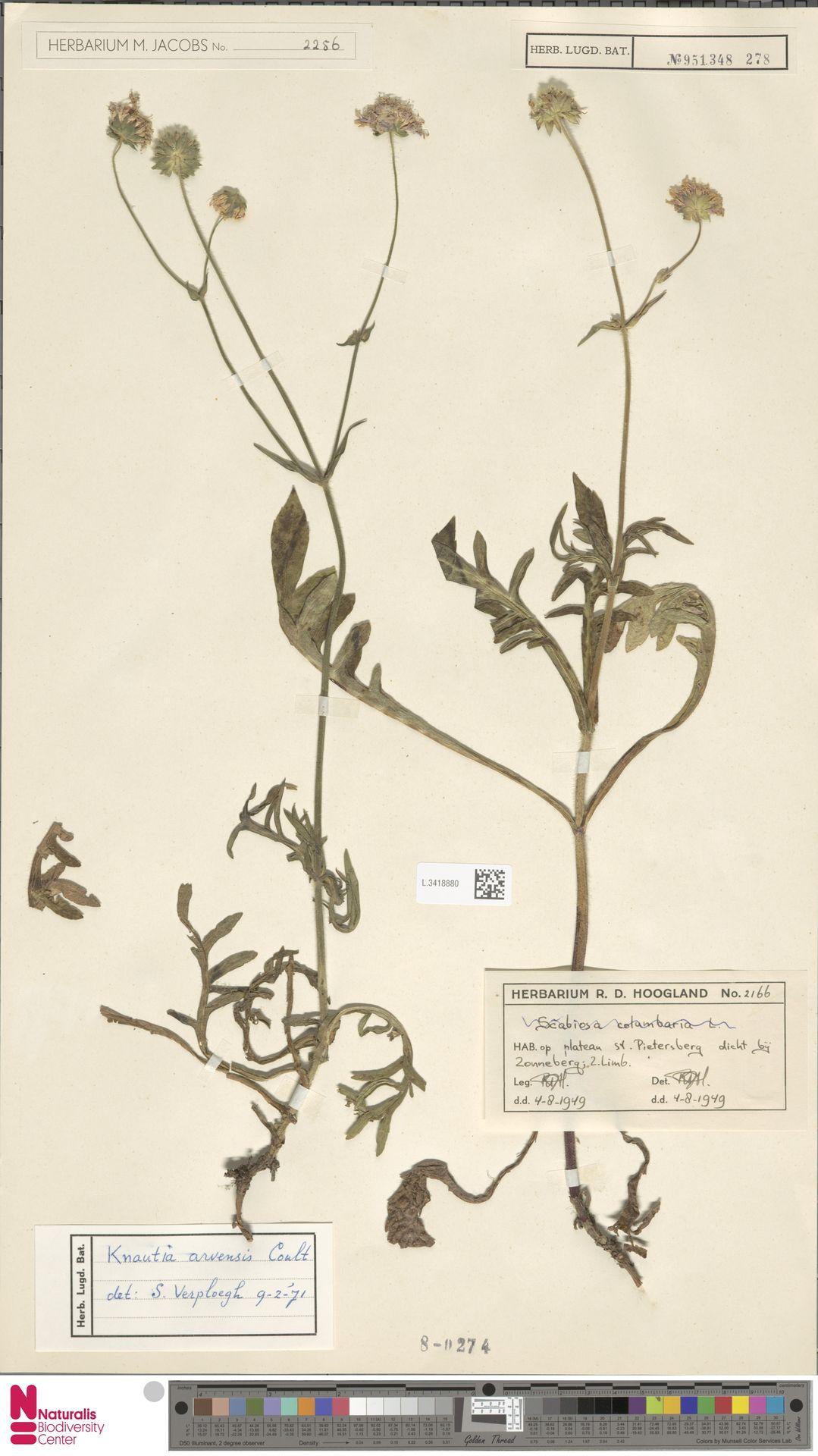 L.3418880 | Knautia arvensis (L.) Coult.