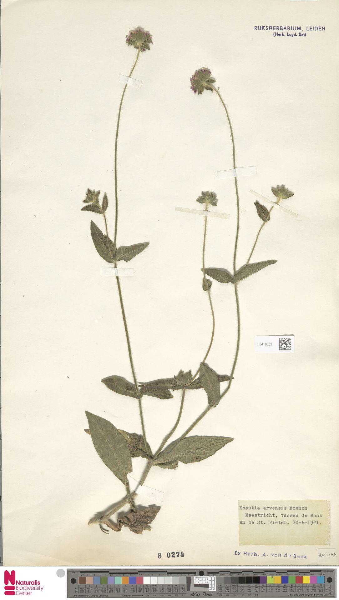 L.3418882 | Knautia arvensis (L.) Coult.