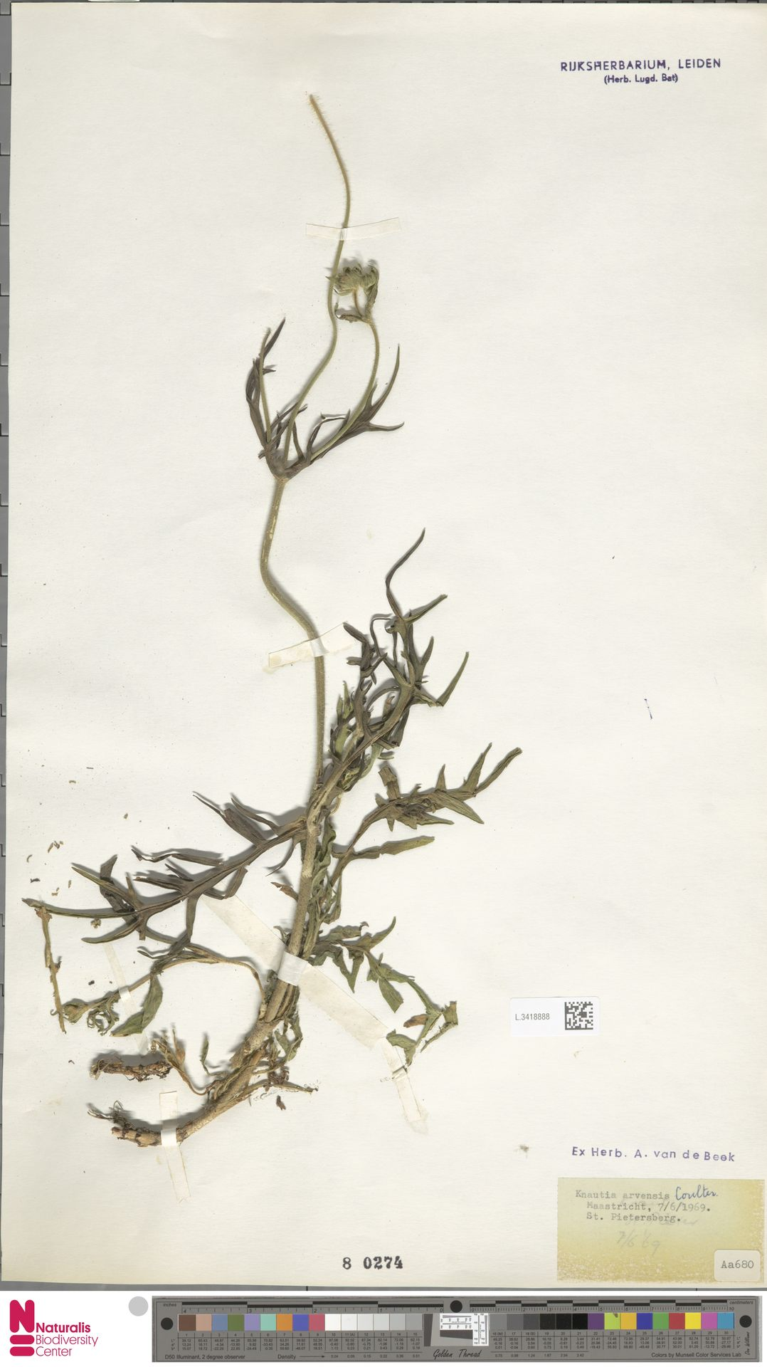 L.3418888 | Knautia arvensis (L.) Coult.